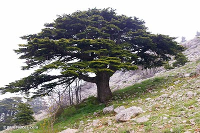 Cedar-of-Lebanon,-adr090510670-bibleplaces