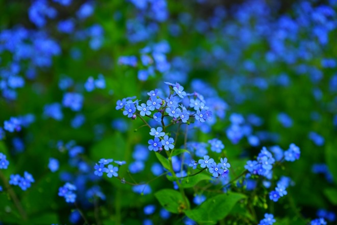 forget-me-not-1365857_960_720